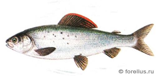 Белый байкальский хариус — Thymallus arcticus brevipinnis