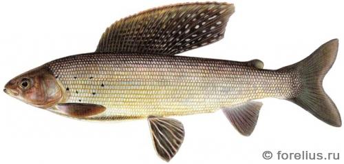 Thymallus arcticus arcticus — западно-сибирский хариус