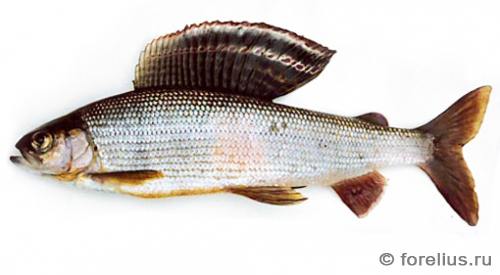 Амурский хариус — Thymallus arcticus grubii