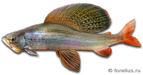 Восточносибирский хариус — Thymallus arcticus pallasi
