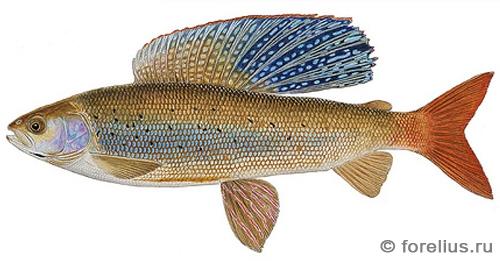 Аляскинский хариус — Hymallus arcticus signifer
