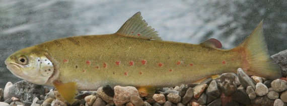 Salmo obtusirostris — Softmouth trout