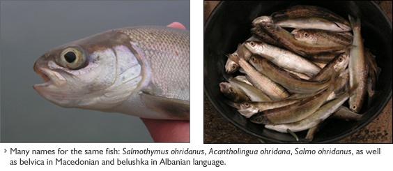 Существует множество названий для одной и той же рыбы: Salmothymus ohridanus, Acantholingua ohridana, Salmo ohridanus, а также бельвица на македонском и белушка на албанском языке.