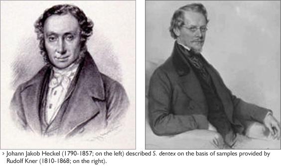 Иоанн Якоб Геккель (1790-1857; слева) описал S. dentex на основе образцов предоставленных Рудольфом Кнером.