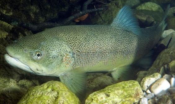 Salmo marmoratus — Marble trout (Мраморная форель)