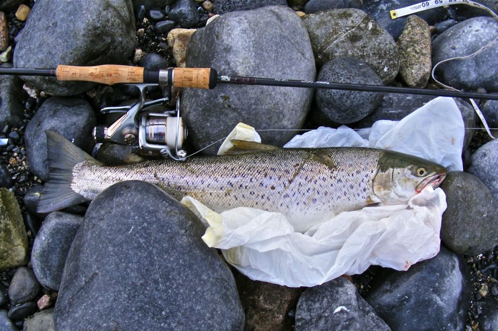 Морская форель весом 2,7 кг (6 фунтов), 60 см (2 фута), из бухты Голуэй на западе Ирландии. Видно шрамы от рыболовной сети.